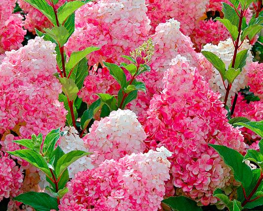 Hortensja bukietowa różowa Vainlle Fraise