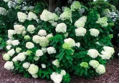 kwitnąca hortensja bukietowa biała