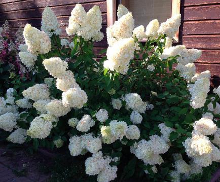 Hortensja bukietowa - Sweet Summer - biała