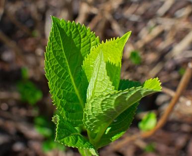 sadzonka hortensji bukietowej - młode pędy