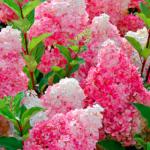1-Hortensja-bukietowa-Hydrangea-Vanille-Fraise