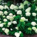 12-kwitnąca-hortensja-bukietowa-biała