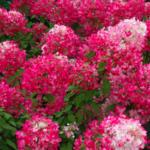 2-Hortensja-bukietowa-Hydrangea-Diamant-Rouge