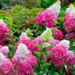 3-Hortensja-bukietowa-Hydrangea-Paniculata-Fraise-Melba