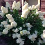 4-Hortensja-bukietowa-Sweet-Summer