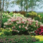 Hortensje bukietowe – zdjecia, uprawa, ciecie